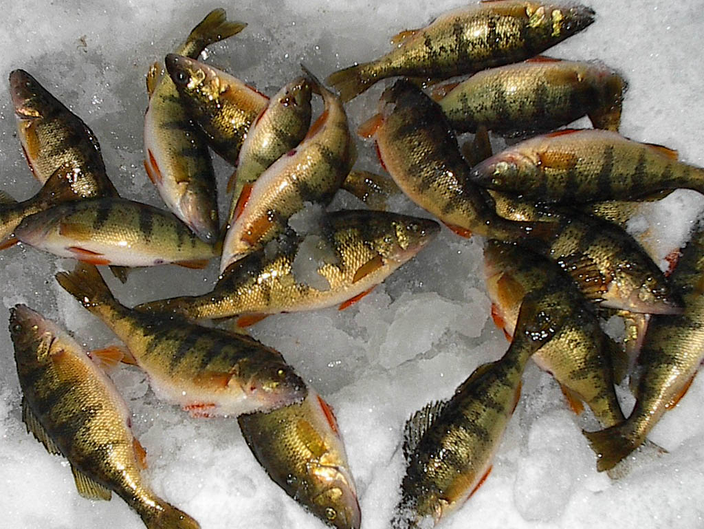 Manna-perch fish