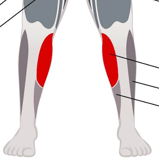 Gastrocnemius, large calf muscle